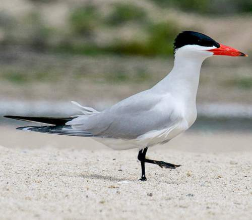 Indian birds - Picture of Caspian tern - Hydroprogne caspia