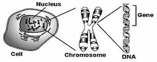 Kromosom (Pengertian, Fungsi, Struktur, Jenis, Jumlah)