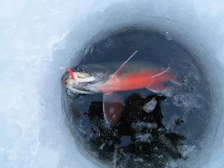 Isfiske røye maggot