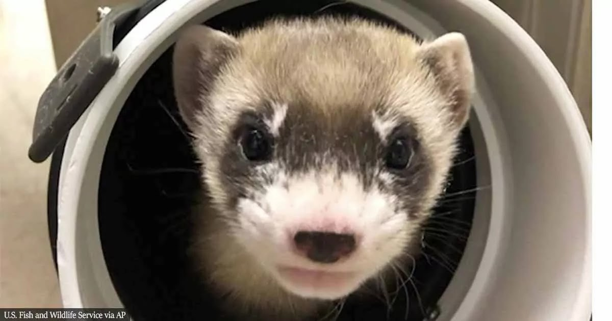 Black-Footed Ferret Becomes First US Endangered Species To Be Cloned