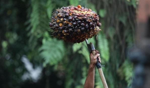 Selain Turunkan Tarif Impor Sawit, Indonesia Juga Akan Serap Beras India