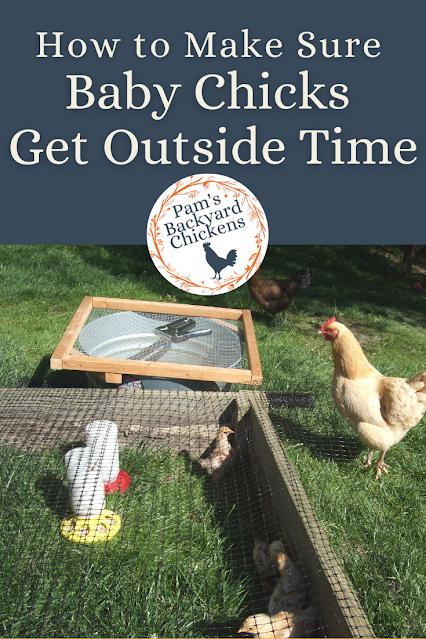 As baby chicks get older, people wonder when their baby chicks can get outside time for exercise and to scratch and peck. But when is that possible? Are there small steps you can take toward the ultimate goal?