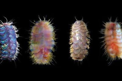 Spesies Baru Cacing Bersisik di Dasar Lautan Telah Ditemukan Yaitu Cacing Elvis