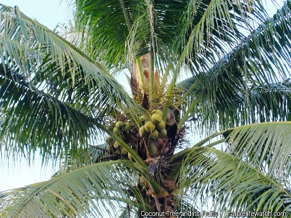 Coconut has got huge variety of uses among people who live in tropical region