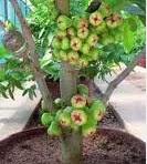 Cara Mencangkok Atau Memperbanyak Tanaman Pohon Jambu Air, Rambutan, Mangga, Dan Jeruk  Cara Mencangkok Atau Memperbanyak Tanaman Pohon Jambu Air, Rambutan, Mangga, Dan Jeruk - Hallow kawan-kawan coku sekalian, hemmm..pada kali ini kita akan membahas tentang cara mencangkok yang benar yaitu Cara Mencangkok Atau Memperbanyak Tanaman Pohon Jambu Air, Rambutan, Mangga, Dan Jeruk.  Untuk memperbanyak tanaman kita tidak perlu menanam bijinya, tapi bisa dilakukan secara cepat dan instan. Bahkan pohon tersebut selain dari cepat tumbuhnya nanti akan cepat pula berbuahnya karena umur tanaman yang telah dicangkok sama umurnya dengan pohon dasarnya.  Jadi dengan cara mencangkok yang benar akan memberikan hasil yang baik, berbeda dengan mencangkok tapi tidak mengikuti proses yang benar, jika proses cangkok tidak benar maka tumbuhan tersebut akan tidak terlihat bagus hasilnya dan bisa saja mengalami mati setelah kita cangkok.  Mungkin ada diantara kawan-kawan sudah pernah melakukan hal ini tapi tidak berhasil ?nah halaman ini akan memandu kawan-kawan supaya cangkok tanamanya bisa hidup dengan baik. Dulu admin ingat belajar mencangkok ini, memang benar asyik sekali belajarnya kalau tidak salah ini mata pelajara IPA kelas 4 SD.  Dulu admin juga pernah melakukan pencangkokan tanaman jambu air, tapi tidak begitu bagus hasilnya hehehe..alias mati mendadak. Setelah itu admin coku teliti dimana salahnya dan juga cari tutorial di internet tentang mencangkok tanaman buah jambu air tersebut,dan akhirnya dapat tutorial seperti yang akan admin jelaskan dibawah ini.  Okelah mari kita mulai mencangkok tanaman jambu air, rambutan, mangga dan jeruk ini. Semoga kita berhasil mengerjakannya dan mendapatkan hasil kerja yang memuaskan.  Bagaiamana Cara Mencangkok Atau Memperbanyak Tanaman Pohon Jambu Air, Rambutan, Mangga, Dan Jeruk ?   Alat dan bahan  yang kita butuhkan untuk mencangkok yaitu:    Sediakan 1 buah pisau yang tajam Tali rapia  secukupnya Sabut kelapa yang bagus dan lembut. Tanah beka