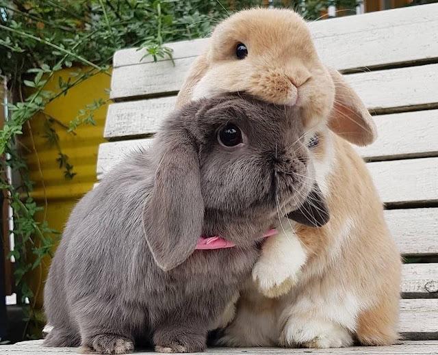 Kelinci berkembang biak dengan cara melahirkan atau vivipar