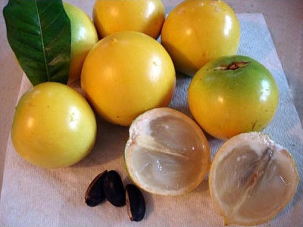 Bibit tanaman buah Abiu Sawo Australia import super berkualiatas Tebingtinggi