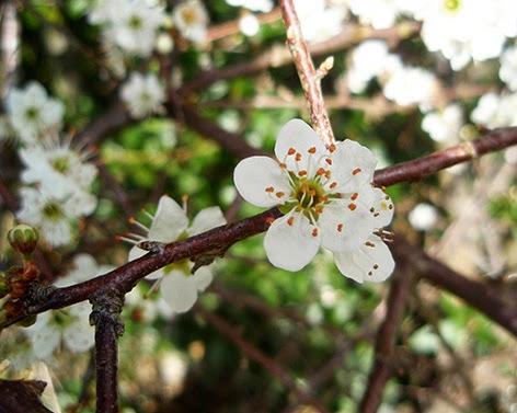 Endrino (Prunus spinosa) flor silvestre blanca