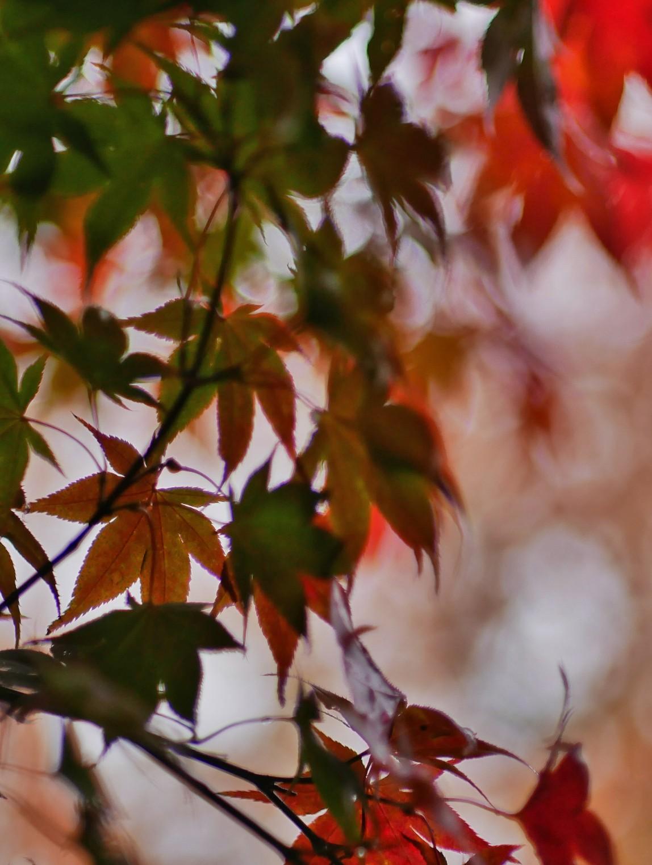 Roter Fächerahorn