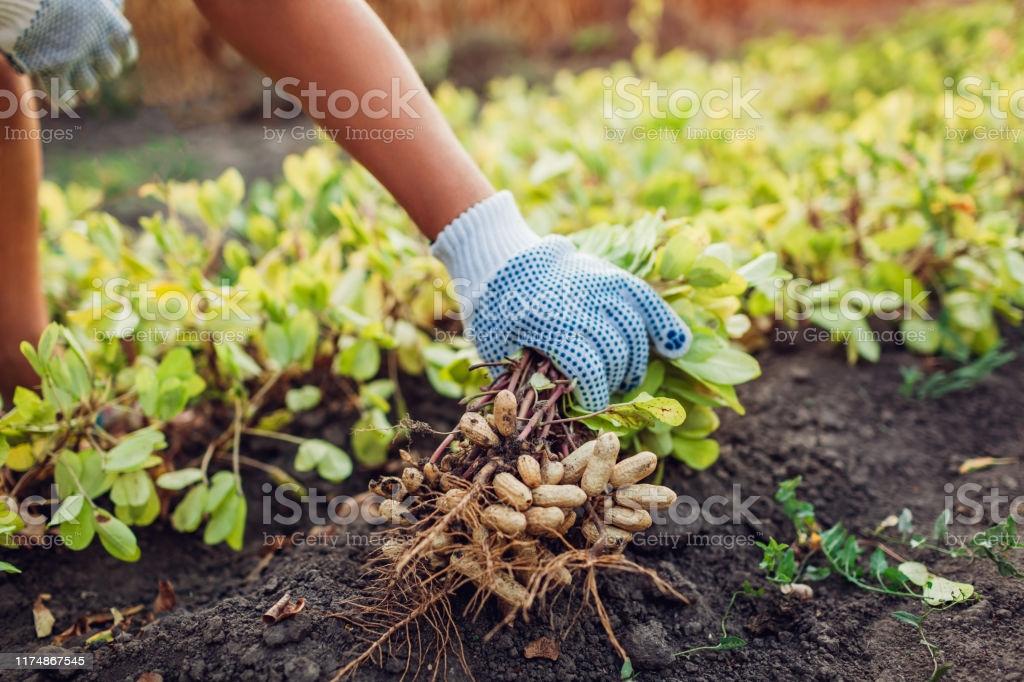 मूंगफली की खेती कैसे करें