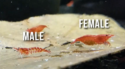 male vs. female cherry shrimp