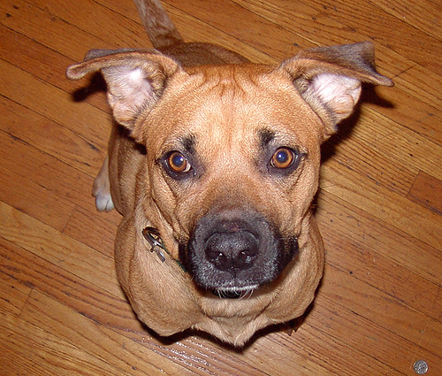 Beagle Boxer: Boxer Rhodesian Ridgeback Mix
