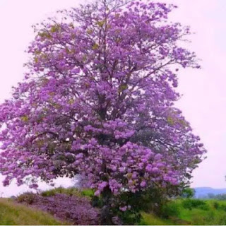 bibit-tanaman-tabebuya-ungu.jpg