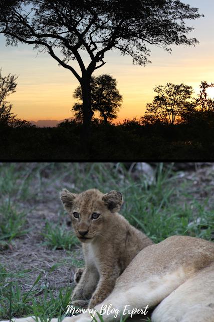 Simbavati Private Reserve Savanna Baby Lion South Africa