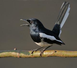 [FOTO] Burung Kicau Paling Laku Populer Daftar Harga Terbaru