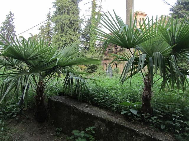 Giovani Esemaplari di Trachycarpus fortunei