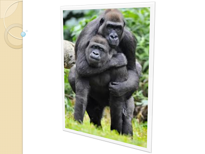 salah hewan yang hampir punah adalah gorila