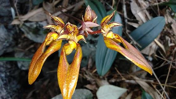 Bulbophyllum longibrachiatum
