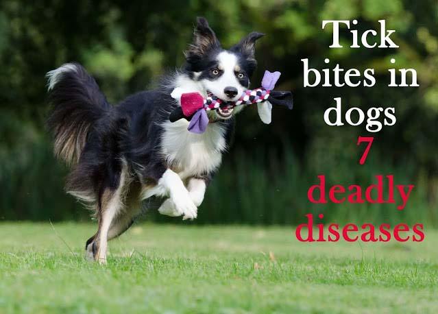 Tick bites in dogs: 7 deadly diseases. All you must know as a dog guardian