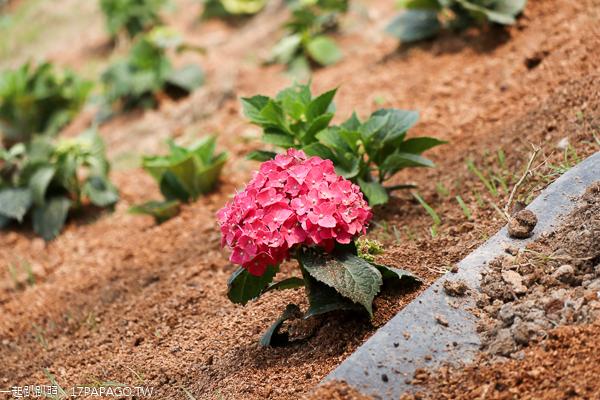 彰化花壇|虎山巖(虎山岩)|三級古蹟|金針花|繡球花|近300年古蹟休憩區|免費參觀