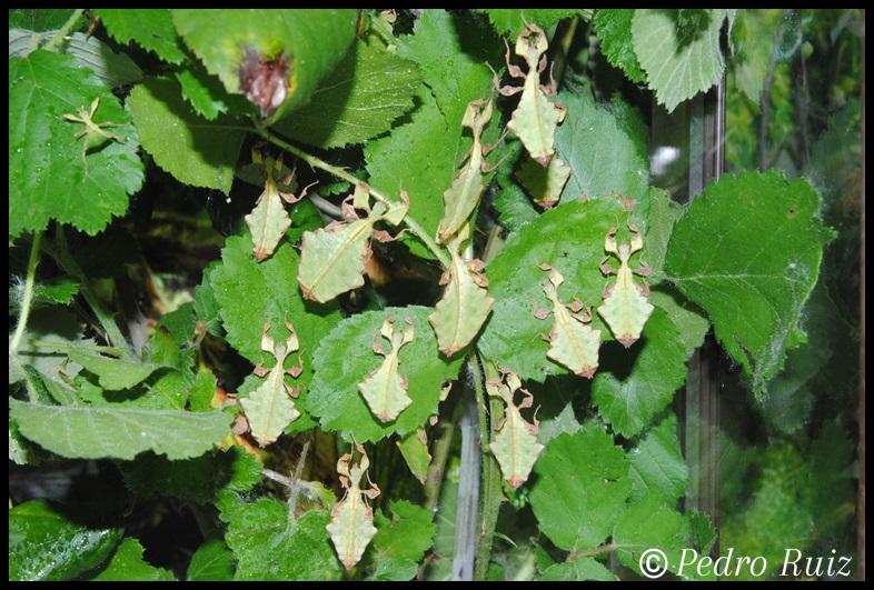 Grupo de ninfas de Phyllium giganteum