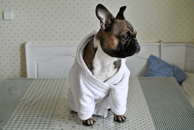 French Bulldog bathrobe