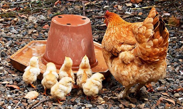 Arti Mimpi Menangkap Anak Ayam