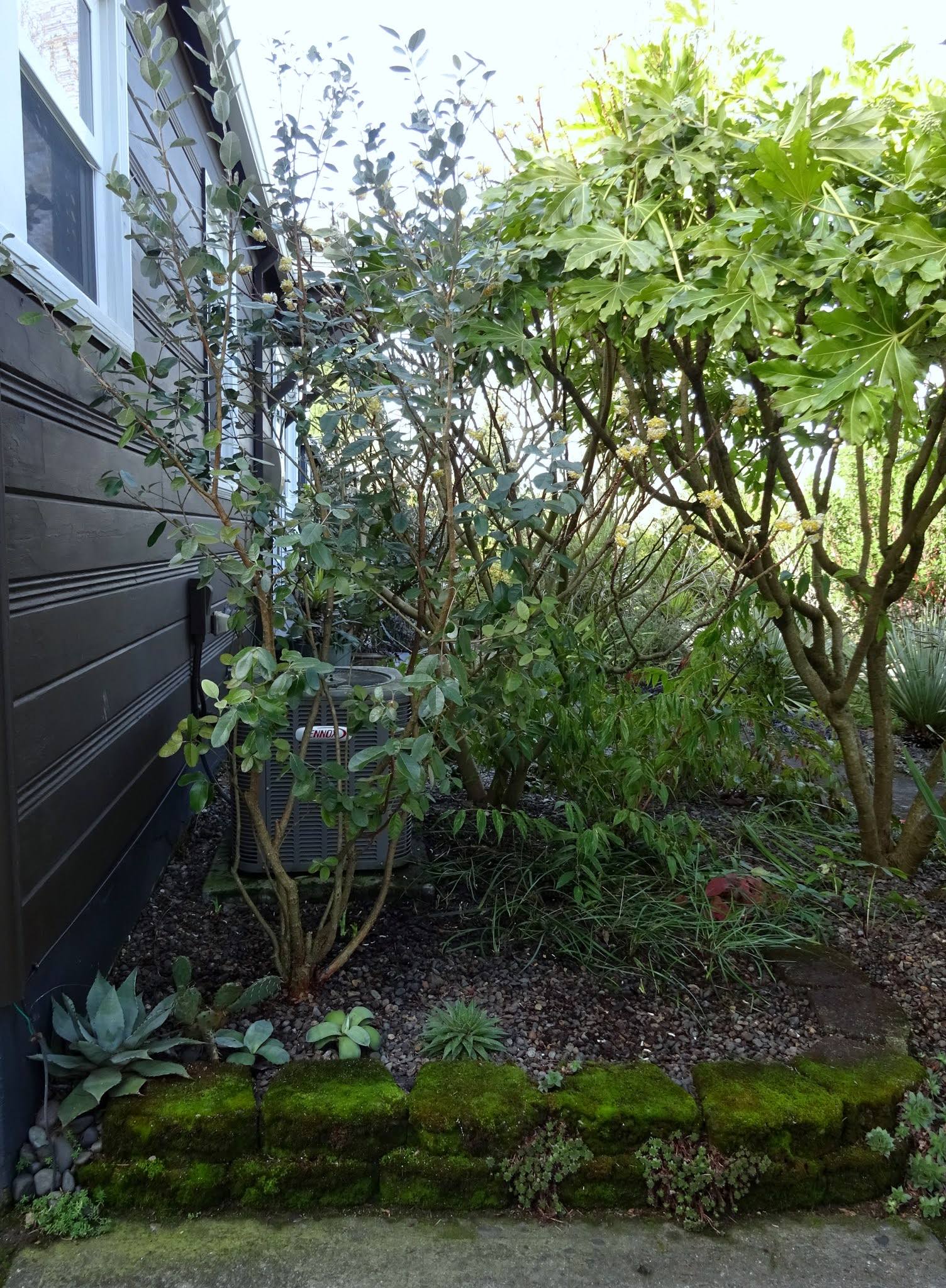 danger garden: Sad but also excited; removing my Grevillea ...