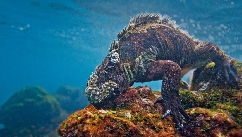 Pengantar Teori Spesiasi Iguana