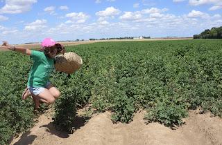 Dans les champs de patates...