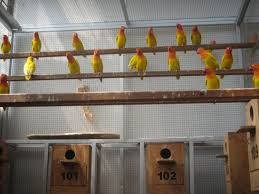 ANALISA PELUANG USAHA BUDIDAYA BURUNG LOVEBIRD