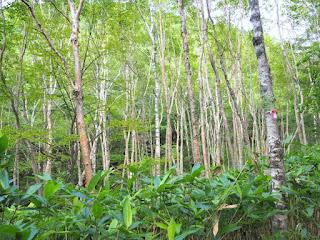 山王峠から光徳に向かう途中の森