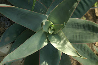 Aloès strié - Aloe striata