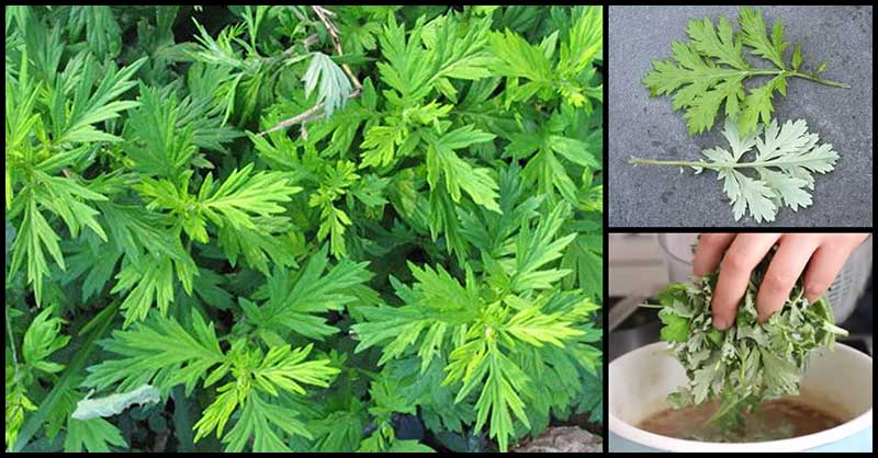Calm The Nerves, Improve Digestive Health And Promote Menstruation With Mugwort