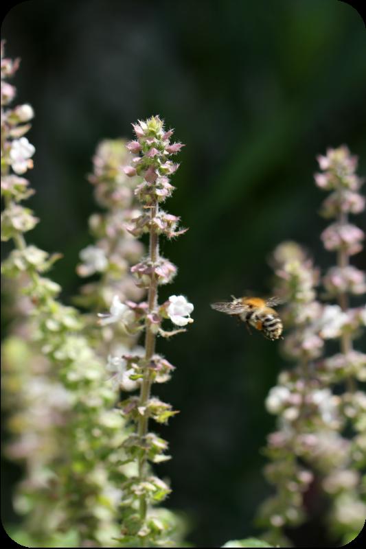 Hummel im Anflug auf die Blüten vom Basilikum African White | Arthurs Tochter Kocht von Astrid Paul