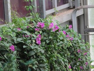 ニンニクカズラ                          サカタのタネグリーンハウス内トロピカルガーデン