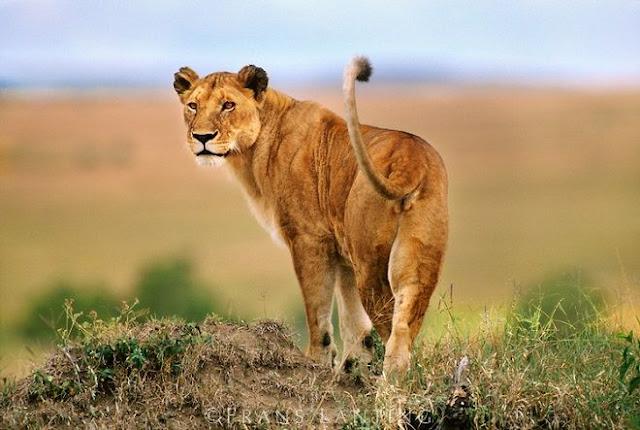 Mejor lugar para ver felinos en Africa
