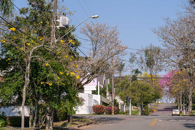 Árvore de ipê-branco florida