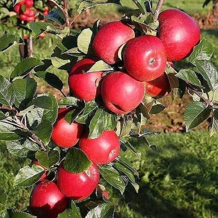 bibit apel ana berkualitas unggul Sumatra Selatan