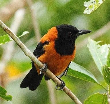 Jenis Jenis Burung Beracun Yang Ada Di Indonesia