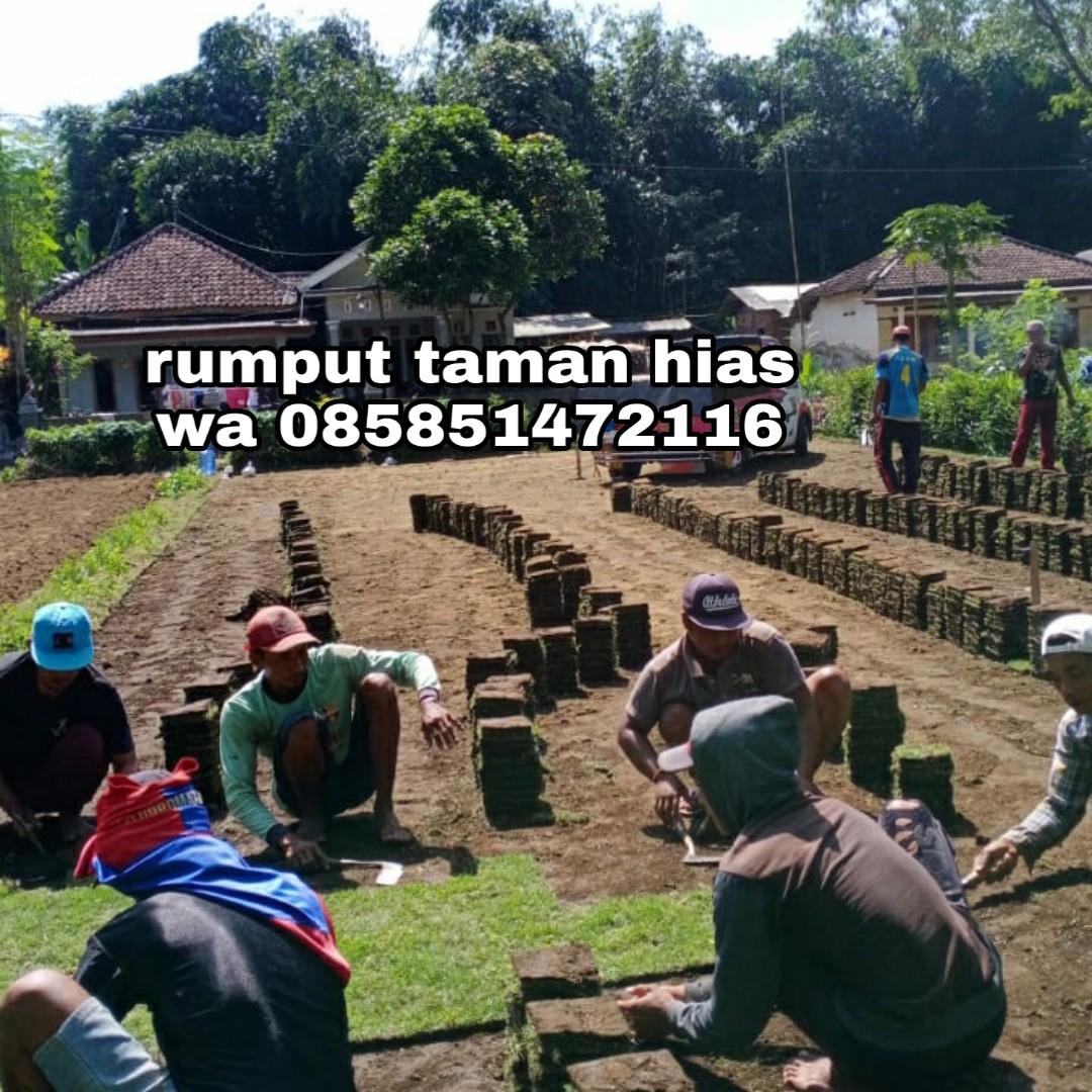Rumput Gajah Mini Di Malang Harga Tahun 2021 Cuma 15.000