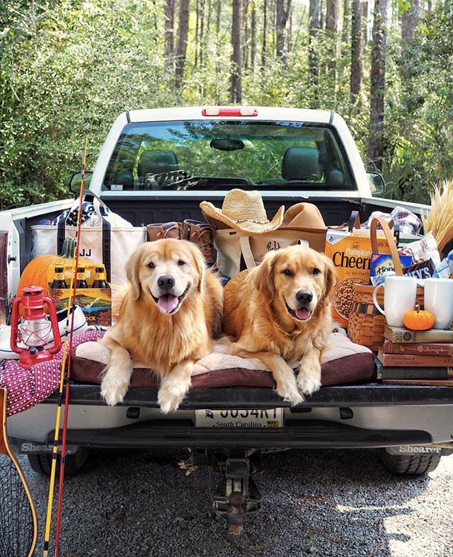 Golden Retrievers Camping