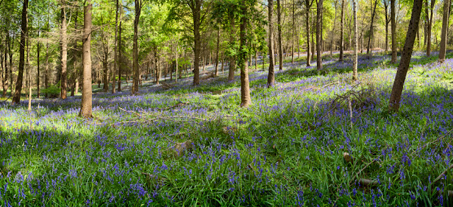 Bluebells in the sun in Warwickshire By Martyn Ferry Photography