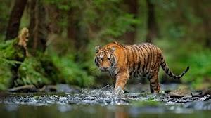 Kondisi Harimau Hari dan Tino Usai Dinyatakan Positif Covid-19