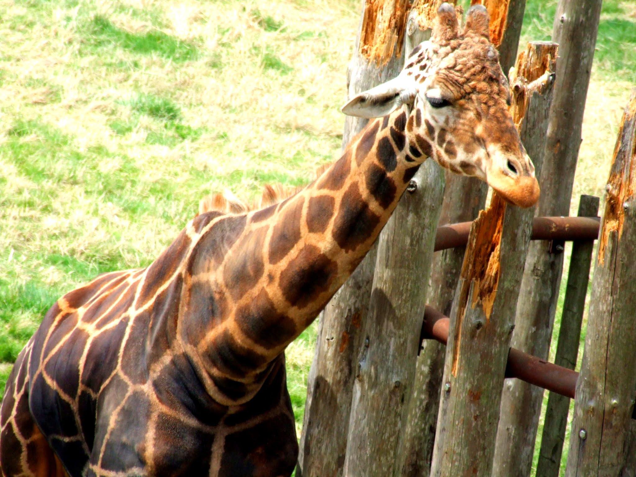 動物園のキリンさんの上半身の写真素材です。この写真をアップしている今日が6月21日で、夏至と世界キリンの日らしいので慌ててアップしてみました!