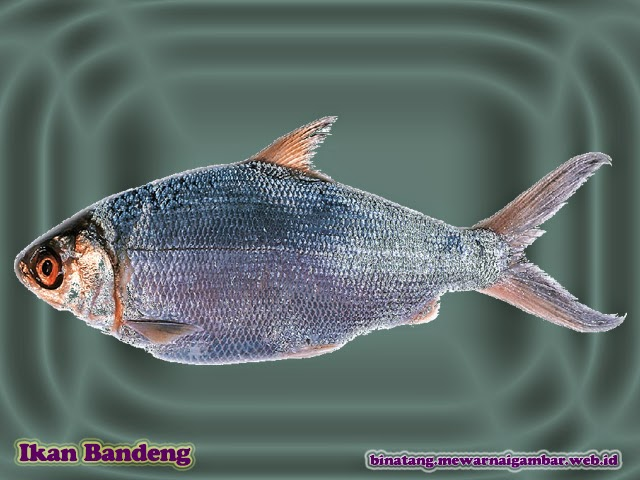 gambar ikan bandeng