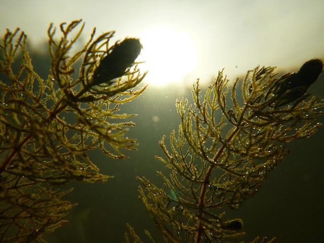 Kaksi vesikasvia kuvattuna pohjasta pintaan päin, aurinko näkyy taivaalla pinnan läpi