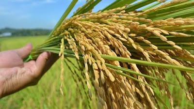 jual pengering padi, jual pengering jagung, jual pengering gabah
