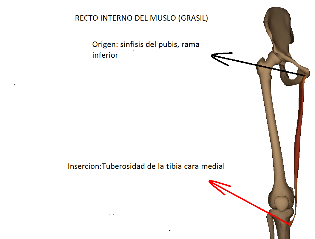 Anatomy full : MUSCULO RECTO INTERNO DEL MUSLO
