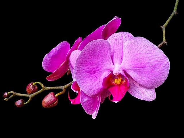 lan hồ điệp ra hoa